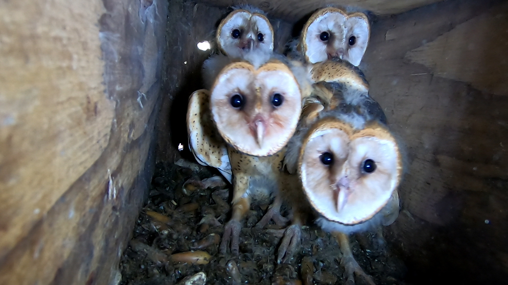 ESD EXTRA: Barn Owl Owlets Renested Around San José