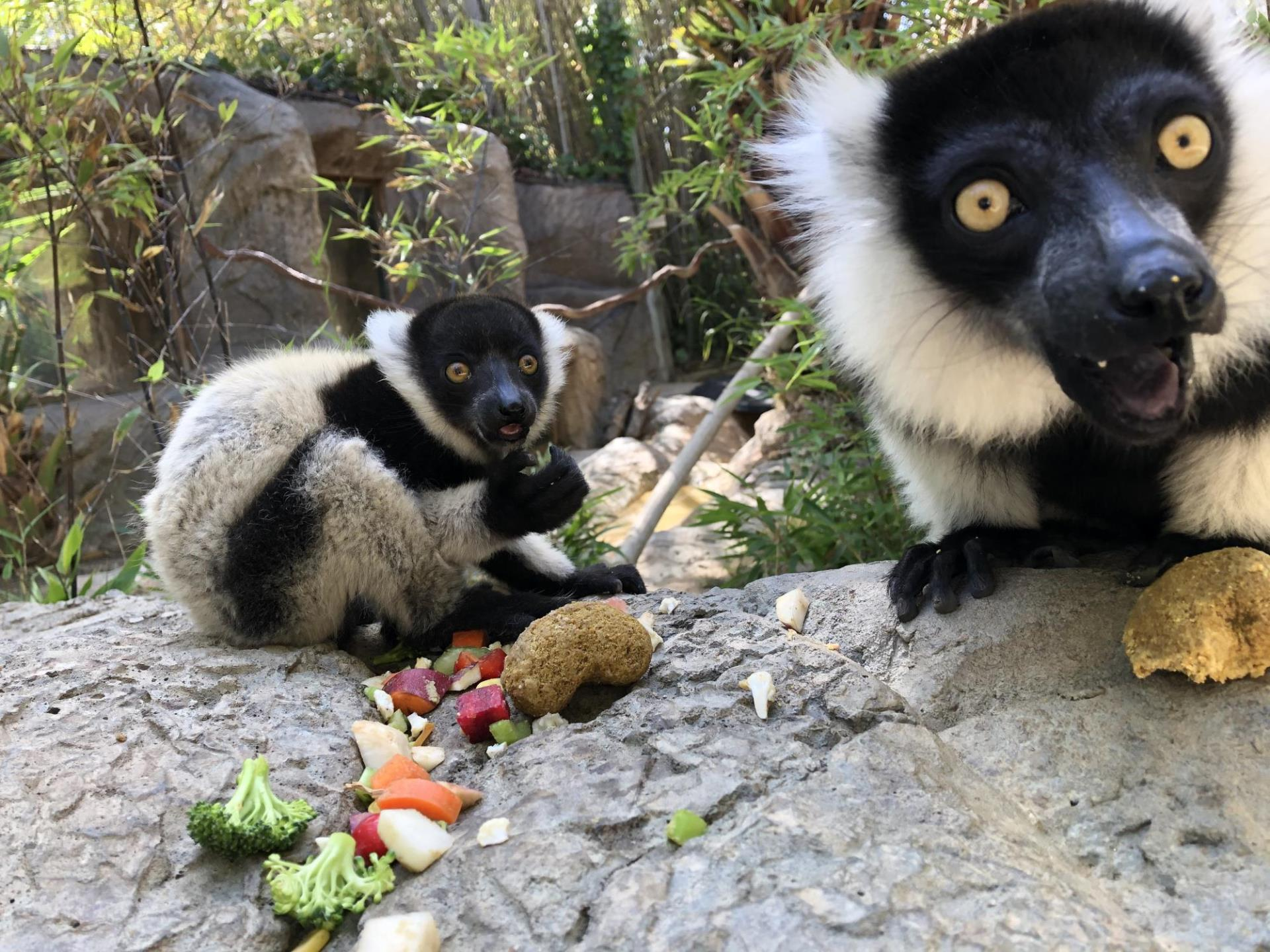 Image of two young lemurs outside on a rock with food around them