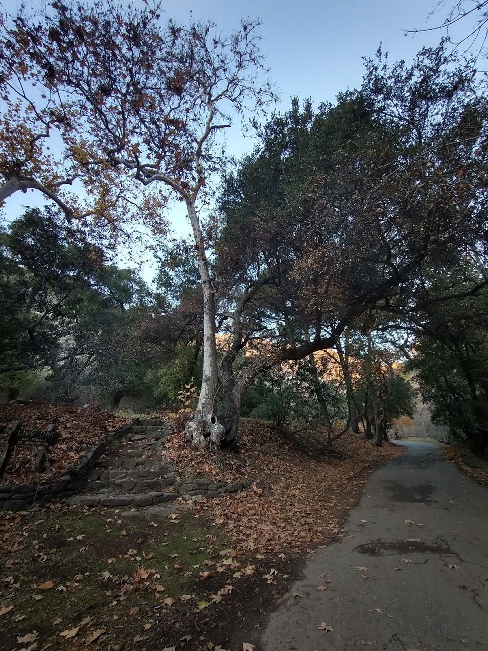 Deux arbres s'éloignant l'un de l'autre près d'un sentier à Alum Rock Park